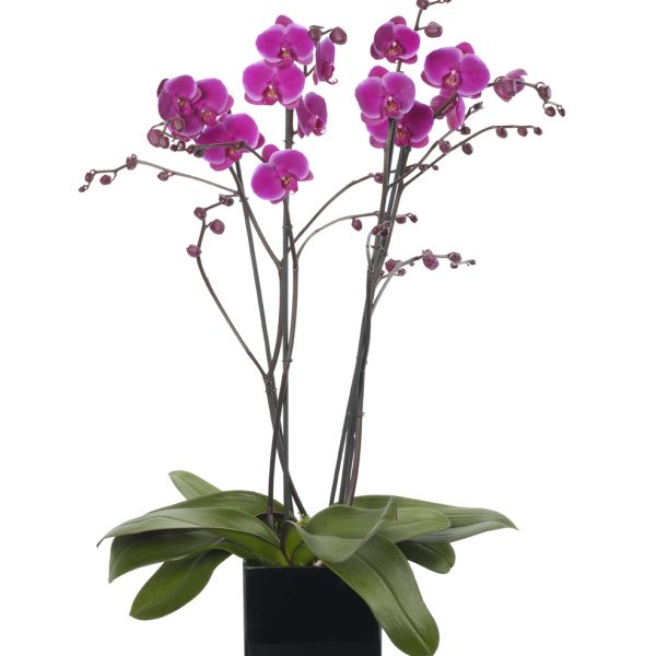 Magenta Pink Double Orchid