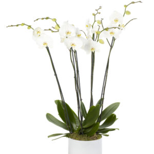White Treble Orchid